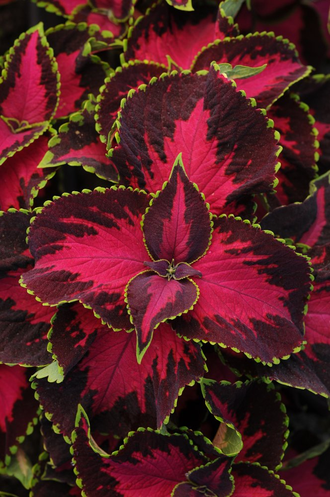 Coleus Ptemium Sun Chocolate Covered Cherry